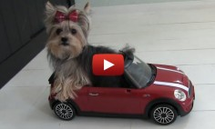 This Tiny Dog Do the Cutest Tricks I Ever Seen! I've Never Seen Anything Cuter!