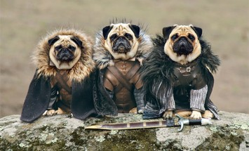 Look How these Three Pugs Dressed Up To Re-enact The Game Of Thrones. Awesome!