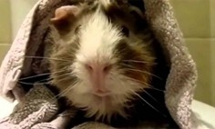 This Is How A Guinea Pig Gives An Interview! I Can't Stop Laughing! It's HILARIOUS!