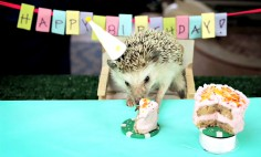 A Tiny Birthday Party For A Tiny Hedgehog And His Two Tiny Hamster Friends. So Cute It Hurts!!