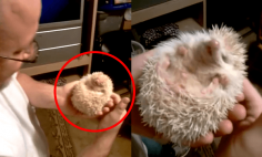 A Man Tickles His Hedgehog – And Something INCREDIBLE Happens!