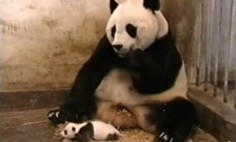 Baby Pandas Are Cute, Until They Sneeze. 0:11 Is Hilarious!!!