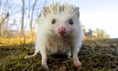 30 Cute Hedgehogs That Will Make You Say WOW! #11 Is Cuteness Overload!
