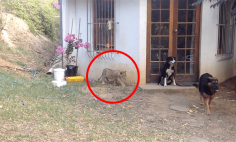 A Little Lion Cub Sneaks Up On a Dog, What Happens Next Will Make You Smile!