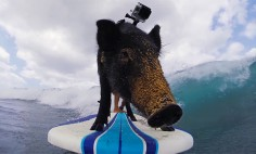 He Puts This Cute Little Pig On Surfing Board. What Happens Next Will Make You Smile!
