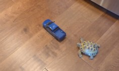 This Turtle Is Ready To Compete With Truck. What Do You thing Who Will Win?