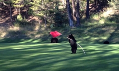 This Baby Bear Found A Golf Hole Marker Flag, You Won't Believe What Happens Next!