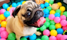 They Put This Pug Into A Ball Pit And It's The Funniest Thing Ever.