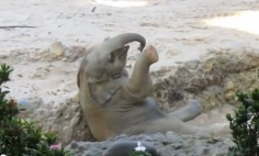 This Baby Elephant Falls On His Back, What His Mother Did Will Melt Your Heart!