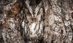 40 Spectacular Examples Of Owl Camouflage. Let's See How Many You Can Spot?