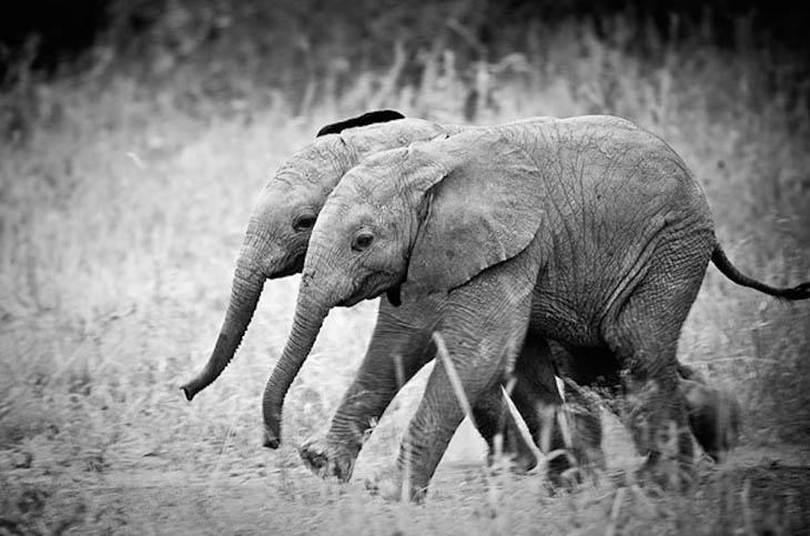 Elephant twins are very rare.