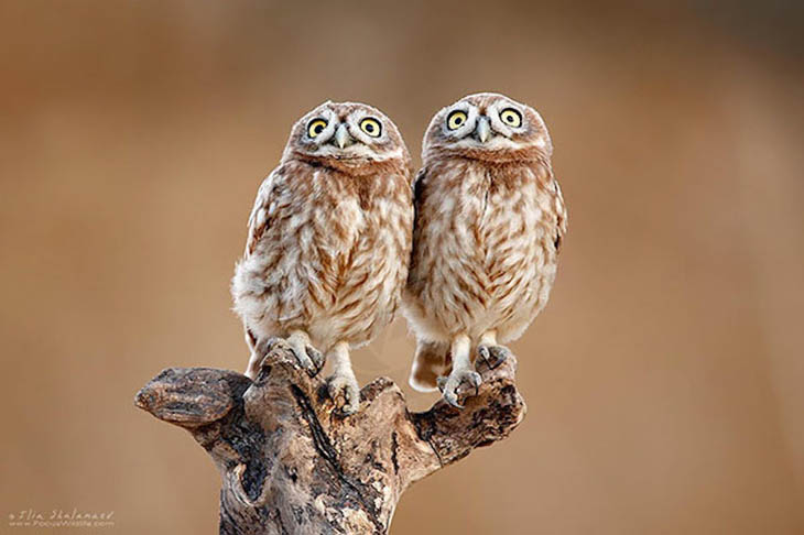 Most owl looks alike, but these two are hard to tell apart.