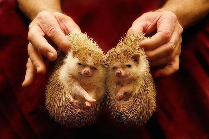 Hedgehogs with same cute smile.