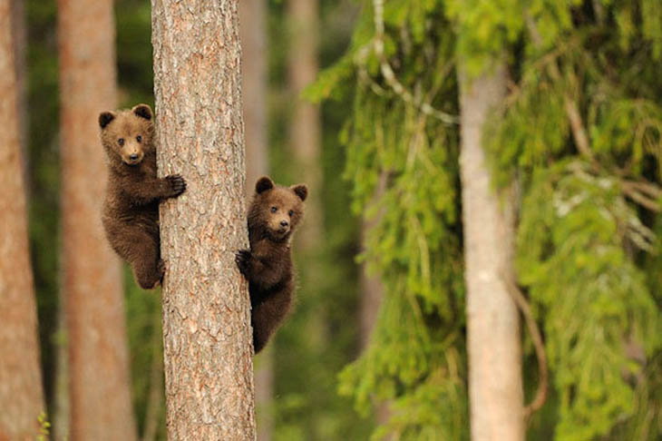 Champion bears competing each other.