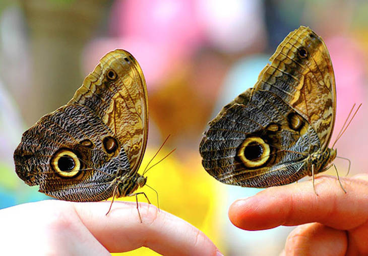 Don't know how but butterflies cannot be twins.