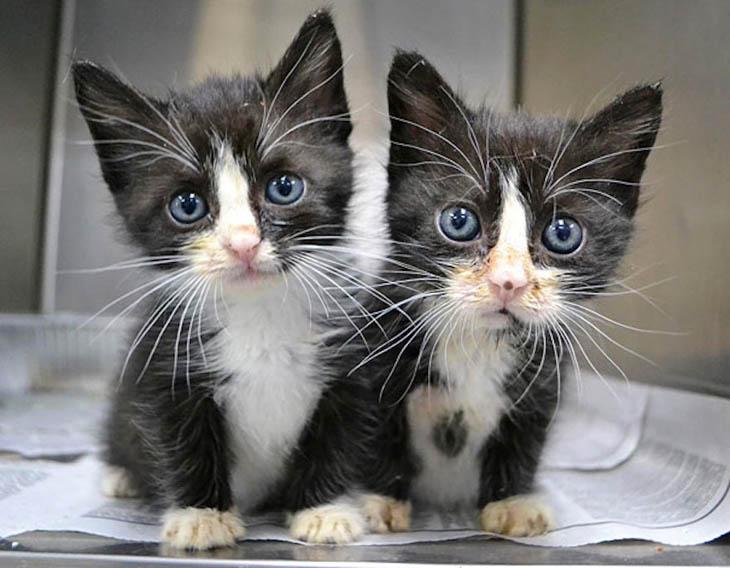 Gray-eyed kitty clones.