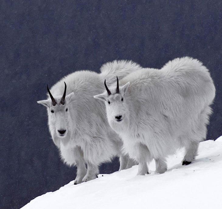 Snow split twins.