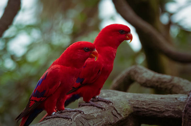 Cool red twin parrots.