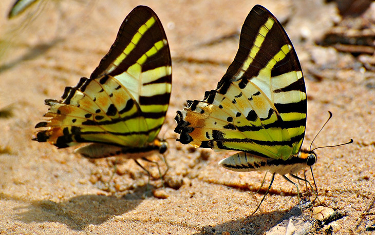 Cute animal twins - Identical butterfly.
