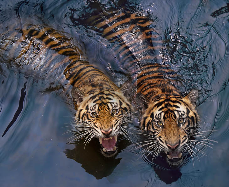 Twin beasts.