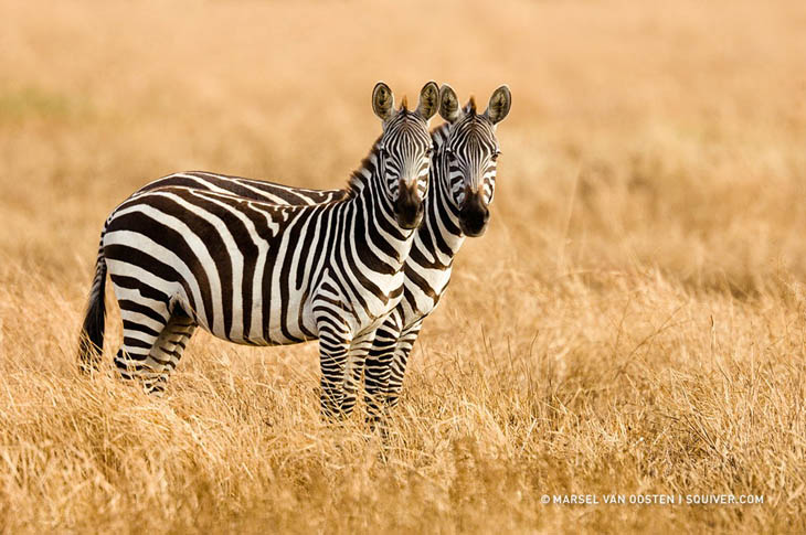 All zebra looks alike, so which one is who?