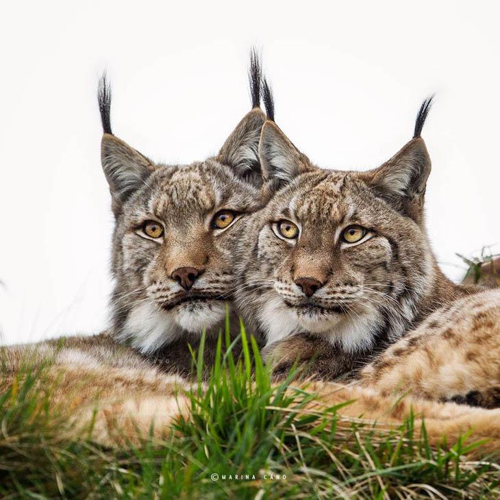 Cute animal twins - Identical Lynx twins.