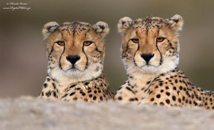 Calm baby Cheetah twins.