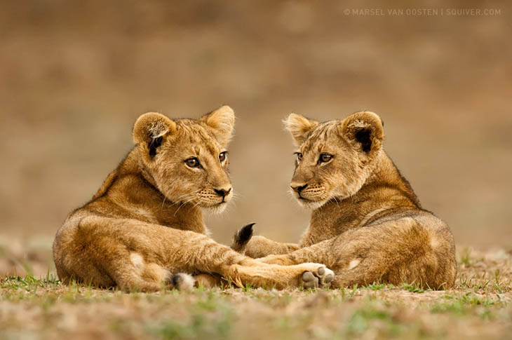 Africa lion cub looking in the mirror.