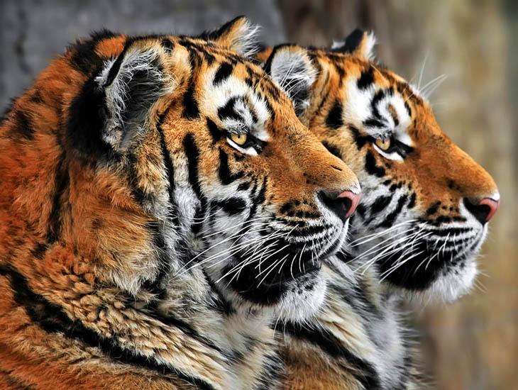 Cute animal twins - Terrific tiger twins.
