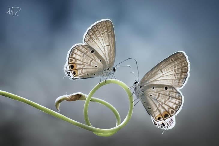Twin butterfly.