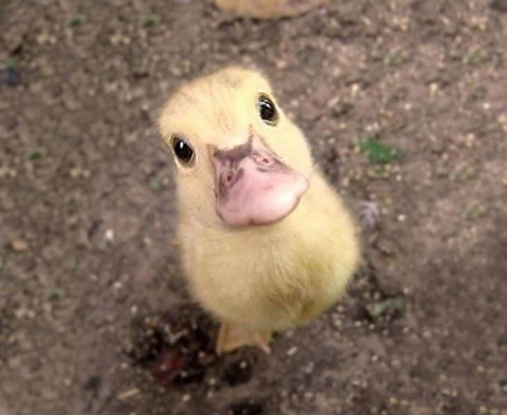 Cute baby animals - Baby Duck