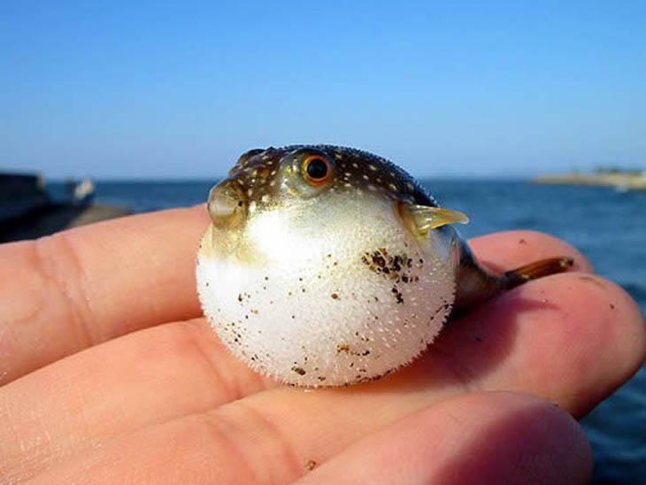 Cute baby animals - Baby Puffer Fish