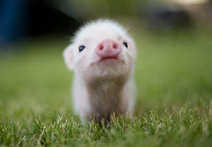 Cute baby animals - Piglet