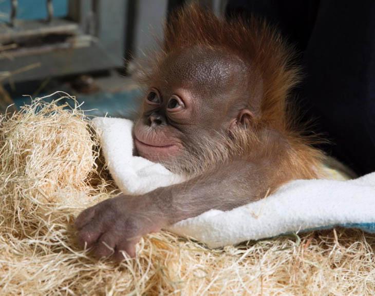 Cute baby animals - Baby Orangutan
