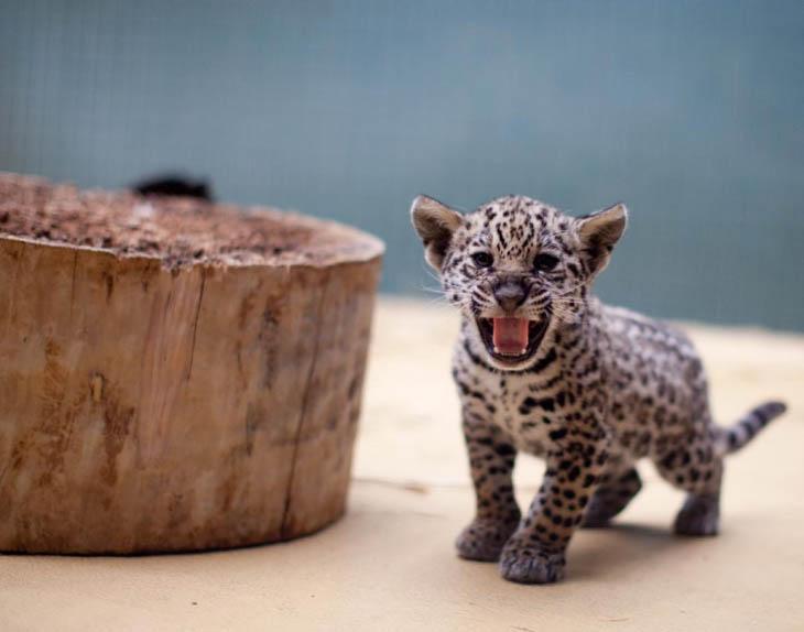 Baby Jaguar Cub