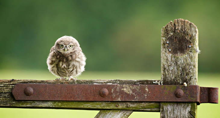 Cute baby animals - Baby Little Owlet