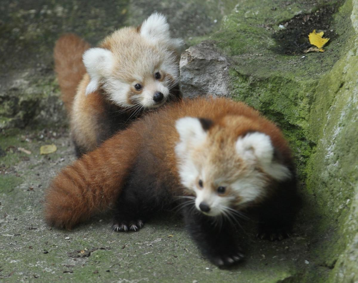 animals baby panda pandas cute animal cutest zoo adorable wild rare twin pets cubs tierpark berlin born presents google twins