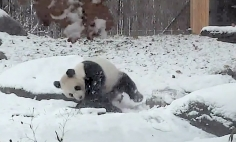This Giant Happy Panda Sure Know How To Have Fun In The Snow. It's Hilarious!
