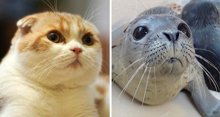 Seal Copycat Cat