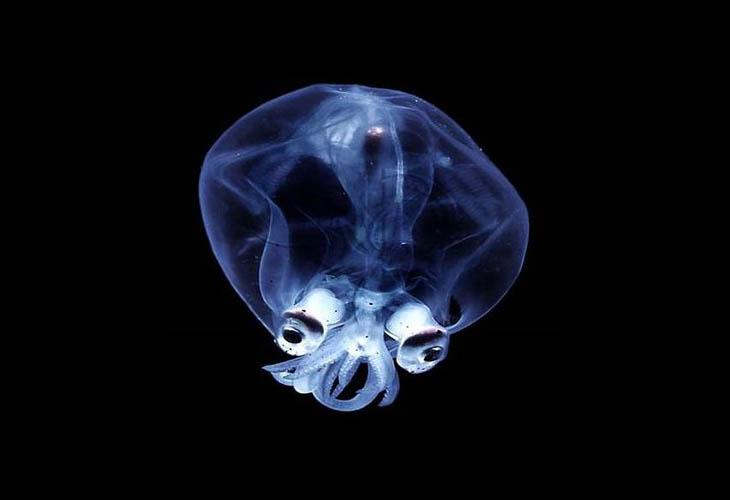 Glass Squid
