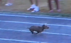This Race Winner Dog Is A Big Time Cheater, But It's Way Too Hilarious.