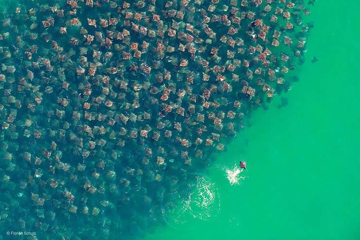 Munk's Devil Rays In Baja, Mexico
