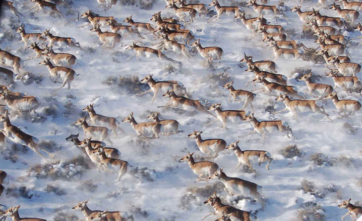 Animal Migration Photos - Pronghorns in Canada