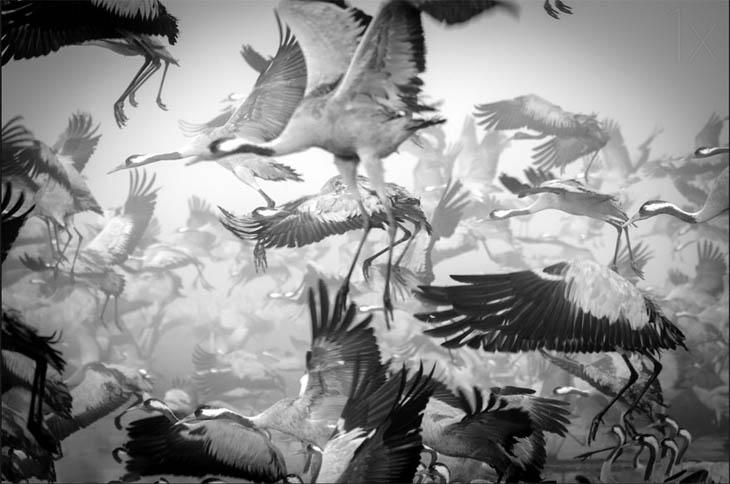 Animal Migration Photos - Red Crowned Cranes Above Hula Lake, Israel