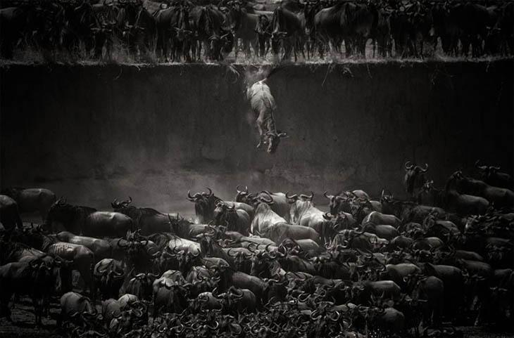 Wildebeest Over The Mara River, Northern Serengeti