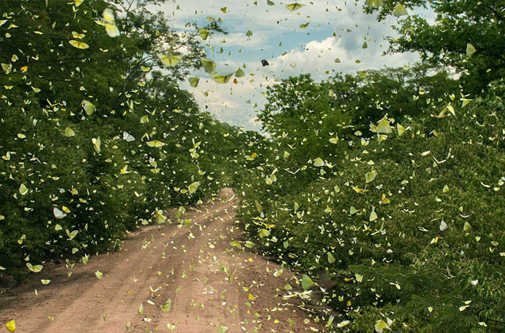 Animal Migration Photos - Butterflies In Tucabaca, Bolivia