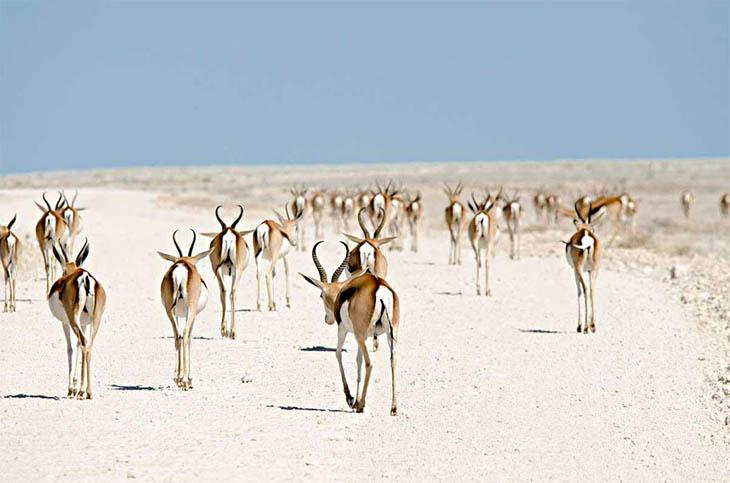 Roan Antelopes, Namibia