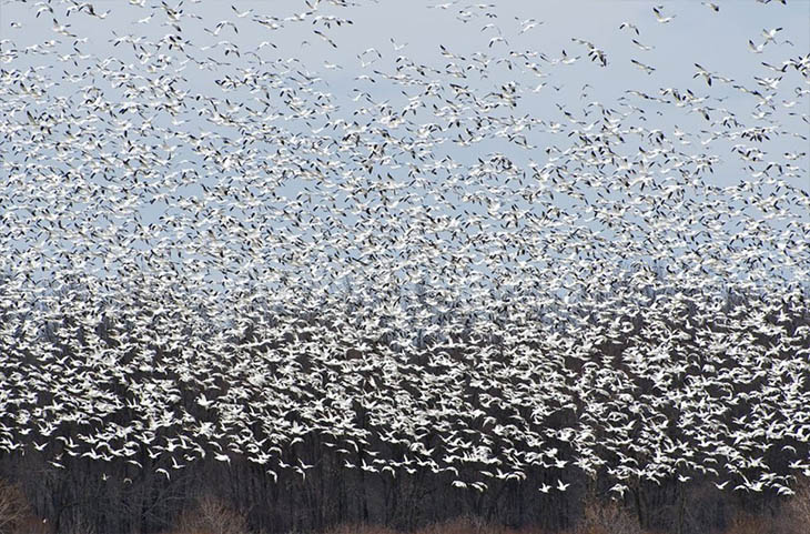 The Great Snow Geese In Canada
