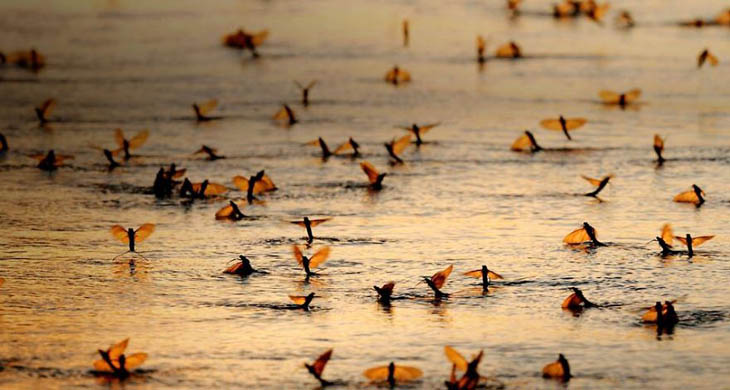 May-fly Swarm In Hungary, River Tisza