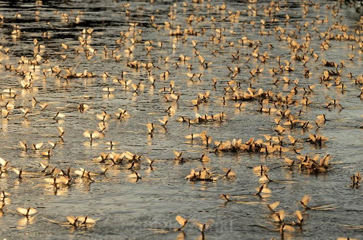 Animal Migration Photos - Mayfly Swarming On River Tisza, Hungary